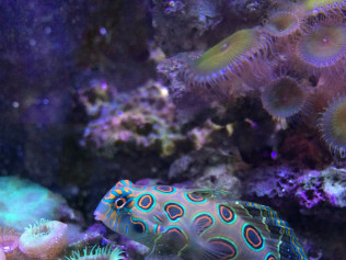 Spotted Dragonet