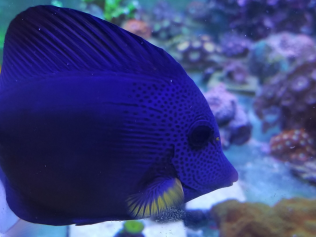 Miss Tang (Purple Tang) & Shurgs (Shoulder Tang) in the 240 display