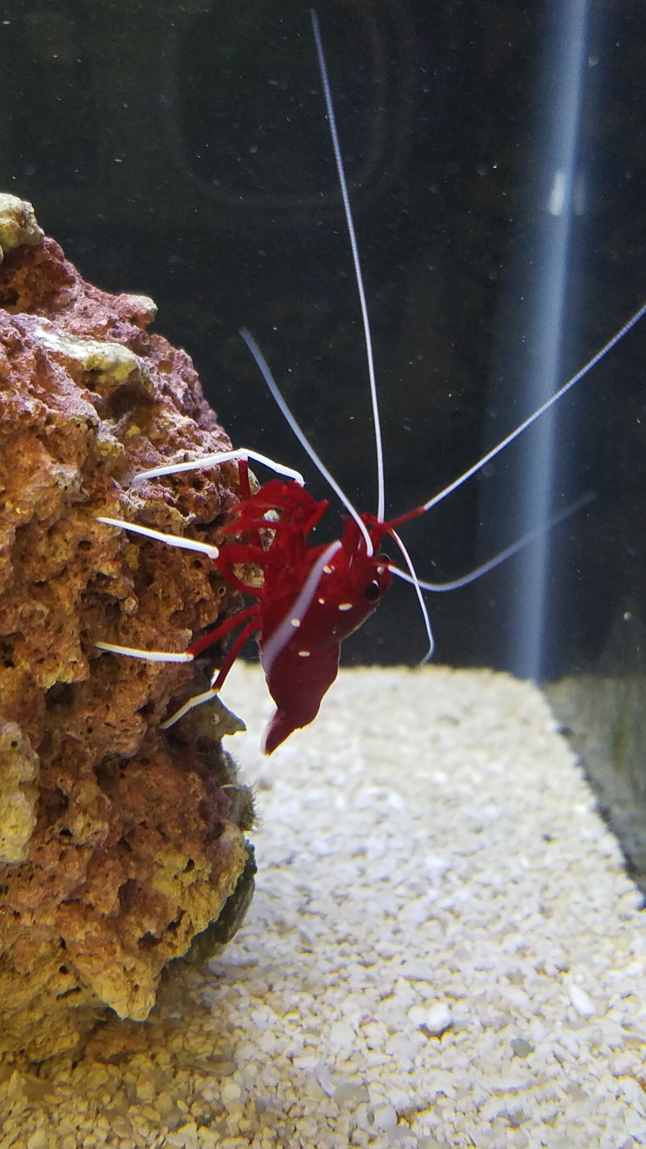 Fire Shrimp - SW