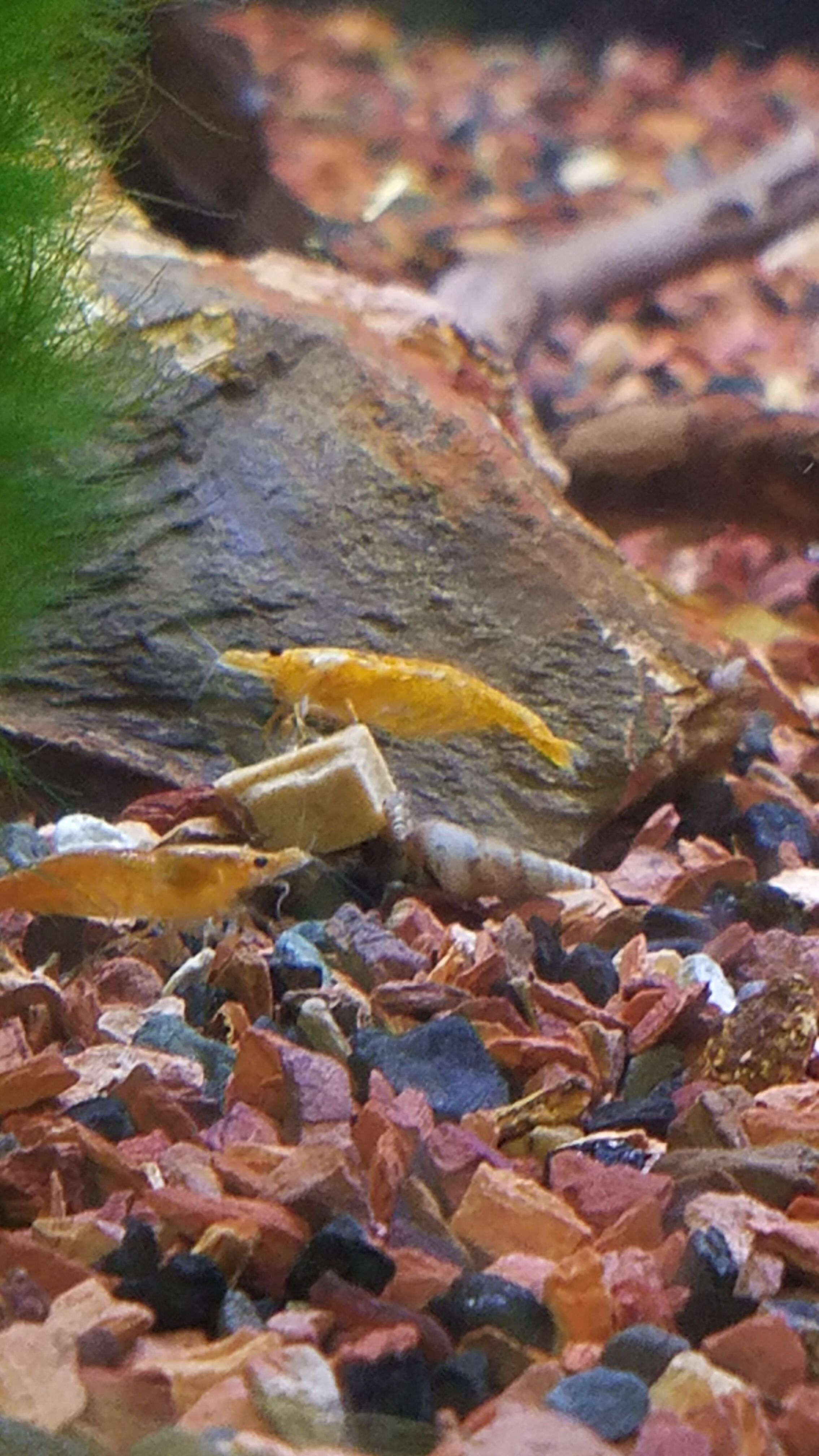 Orange Neocaridina Shrimp - FW