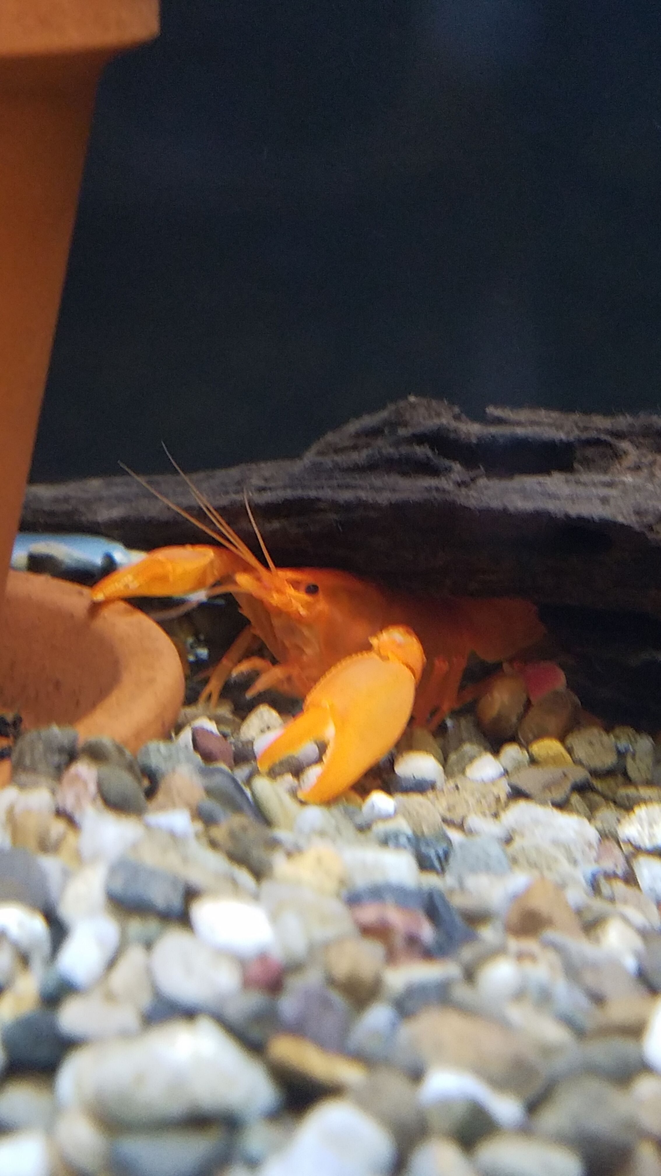 Papua Chili Red Crayfish - FW