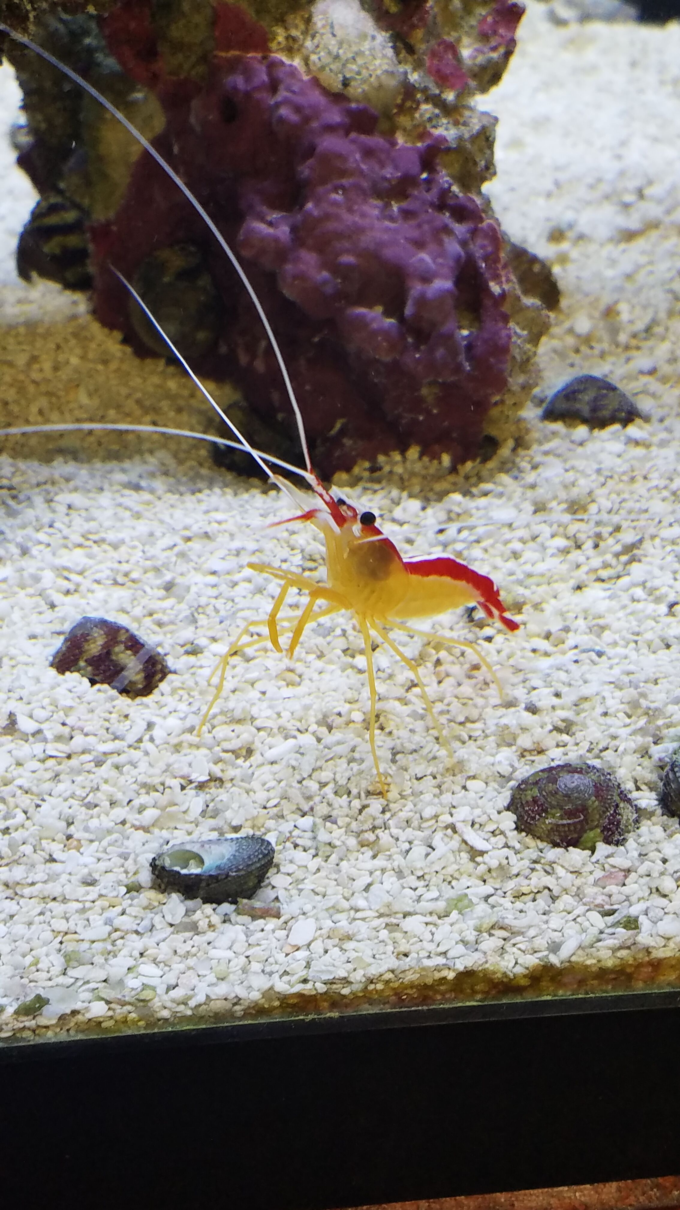 Skunk Cleaner Shrimp - SW