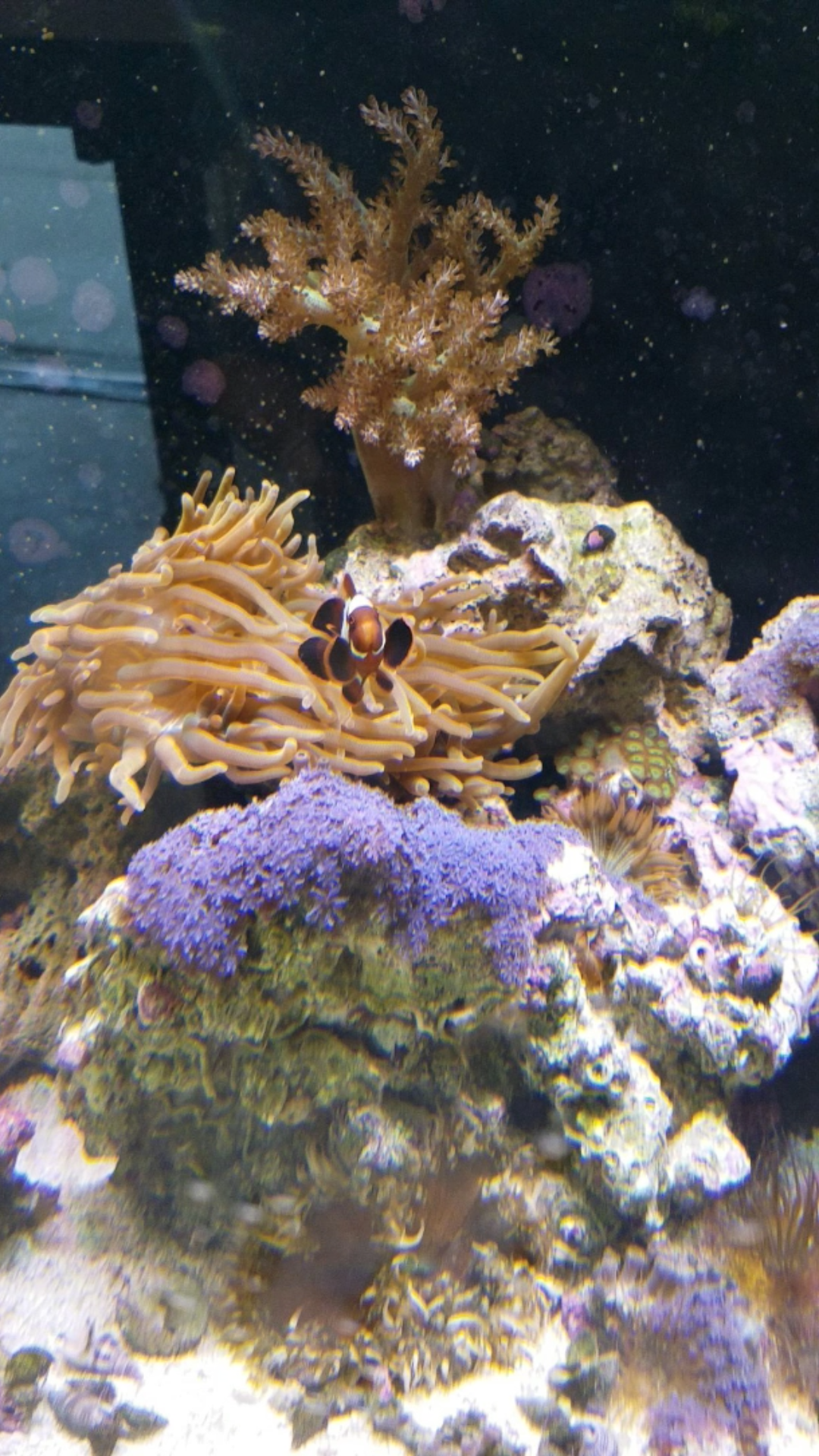 Lightning Maroon Clown Fish Hosting in BTA