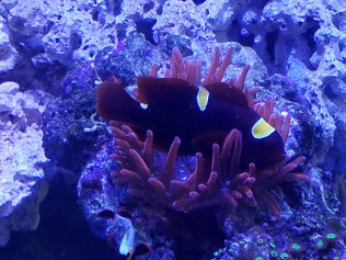 Maroon Clown Hosting In Bubble Tip Anenome (BTA)